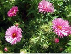 pretty pink Aster flowers picture.jpg