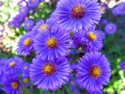pretty purple aster flowers picture.jpg