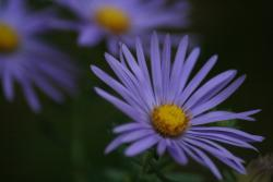 purple Aster flowers image.jpg