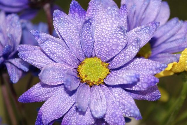 Asters Flowers Purple Purple Aster Flowers Picture