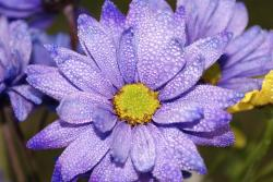 purple Aster flowers picture with bright yellow eye.jpg