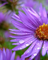 purple Aster flowers with rain drops.jpg