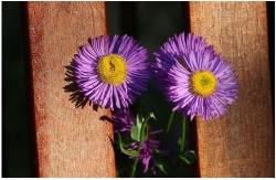 purple Aster flowers with yellow center.jpg