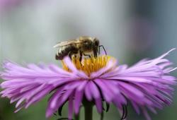 purple aster flowers with yellow eyes with bee image.jpg