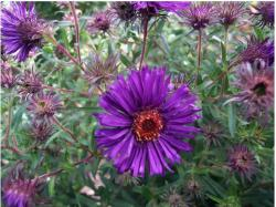 purple garden flowers with Asters.jpg
