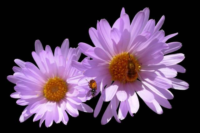 purple pink aster flowers image hires p hd, Beautiful flower