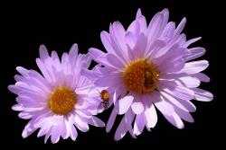 purple pink Aster flowers image.jpg