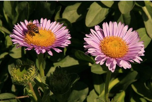 purplish pink Aster flowers with yellow cetner.jpg