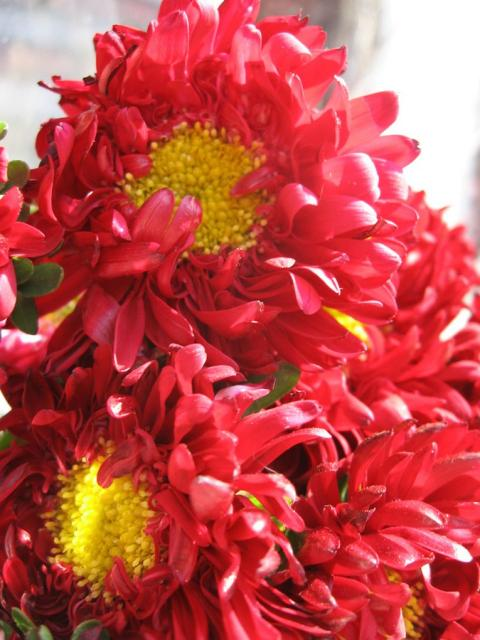 Red Aster Flowers With Yellow Center Jpg