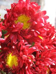 red Aster flowers with yellow center.jpg