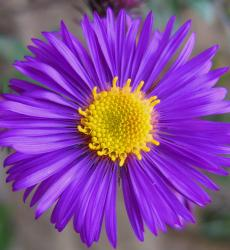 rich dark purple Aster flower.jpg