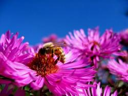 rich pink Aster flowers image.jpg