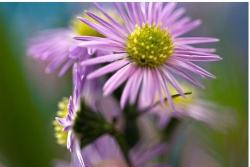 small light purple Aster flowers photo.jpg