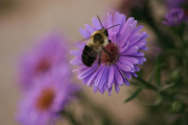 small purple aster flowers with bee photo.jpg