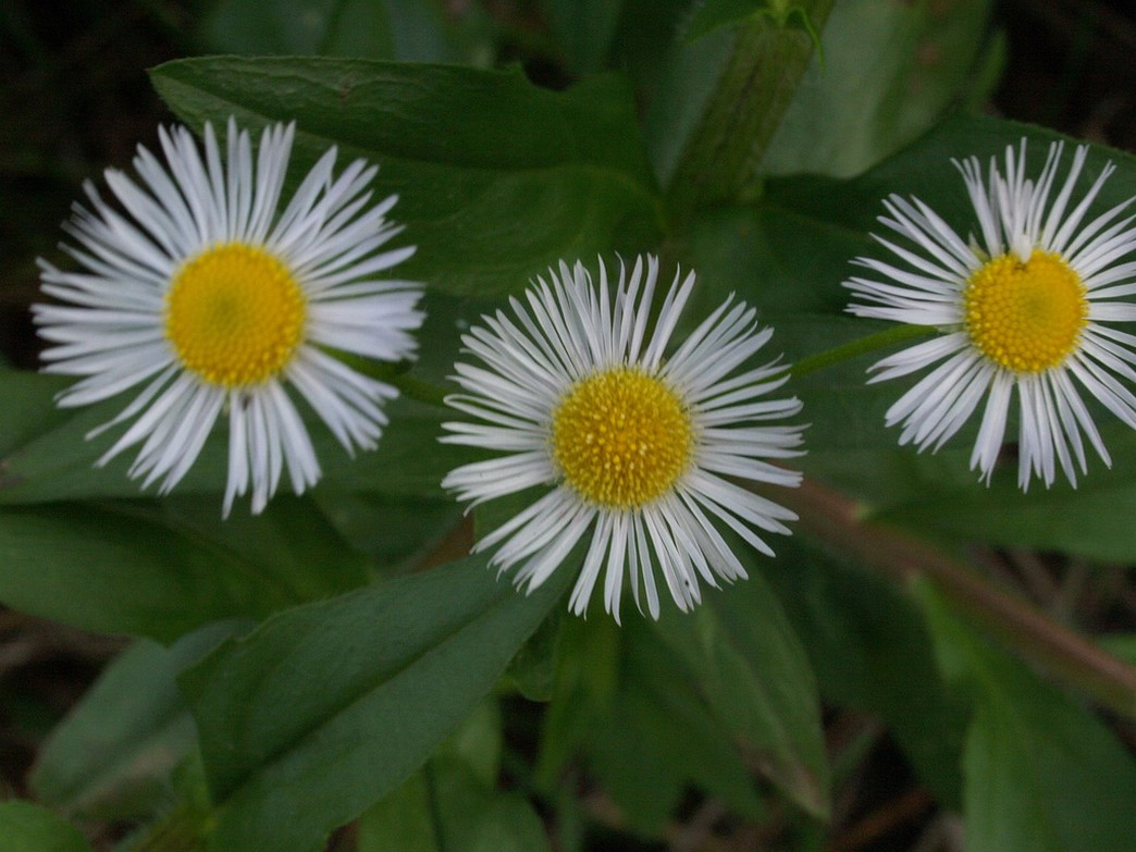 snow white Aster flowers with yellow eyes.jpg