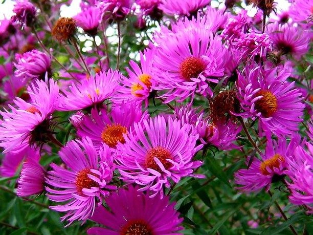 aster flowers pictures gallery [p. ], Natural flower