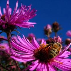 summer flowers Asters with bees.jpg
