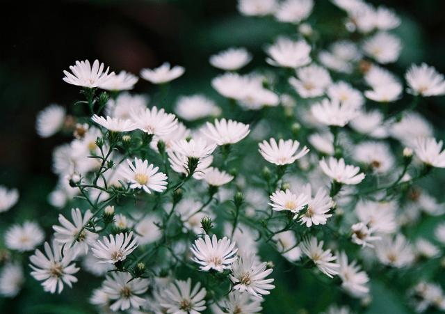 White Aster Flowers Pictures