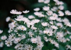 white Aster flowers field.jpg