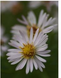 white aster flowers with yellow center.jpg