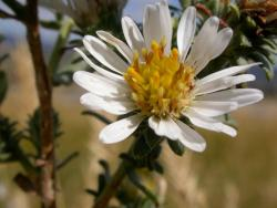 white aster garden flowers photos.jpg