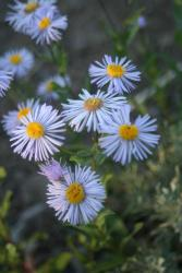 white garden flowers picture of Aster flowers.jpg