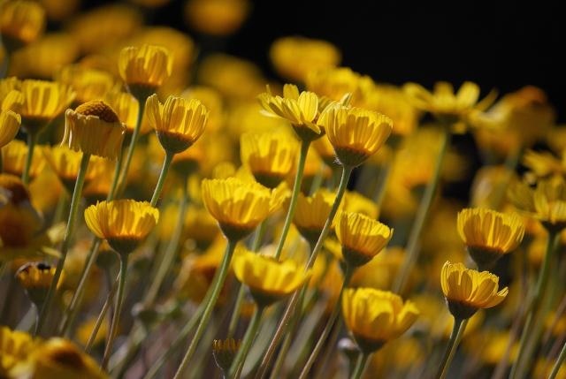 yellow aster flowers field hires p hd, Beautiful flower