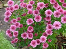Aster flowers in red pink.jpg