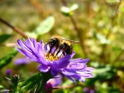 Aster flowers with bee.jpg