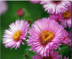 Aster flowers with pink color.jpg