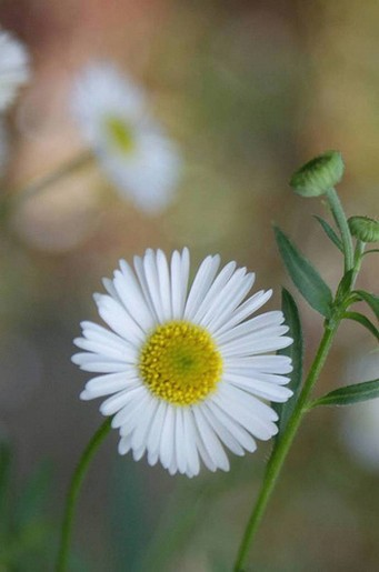 pretty small daisies jpg