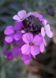 pink purple flower perennials.jpg