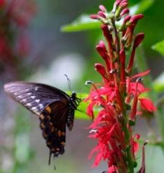 Red perennial flowers with butterfly.jpg