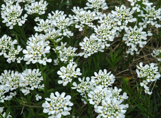 white perennial flowers plants  comments, Natural flower