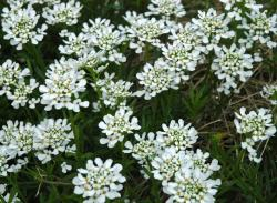 white perennial flowers plants.jpg