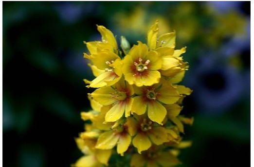 yellow perennial flowers.jpg