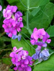 annual perennial flowers in purple pink.jpg