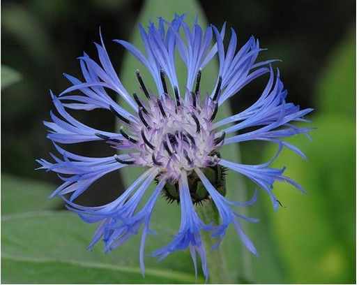 Blue Perennial Cornflowerg