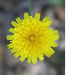 flower perennial in bright yellow.jpg