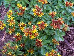 flowers perennials in red and yellow.jpg
