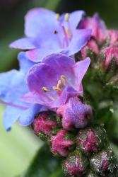 image of Dwarf perennial echium flowers in purplish blue.jpg