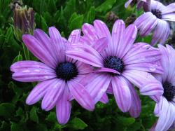 pretty purple daisy flowers photo.jpg