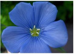 Perennial flax also know as blue flax.jpg