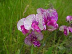 Perennial Pea in white and purplish pink.jpg