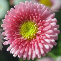 Perennial Spiral in pink with yellow center.jpg