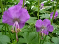 photo of Perennial Geranium in pinkish purple.jpg