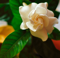 Gardenia Flowers Pictures Gallery