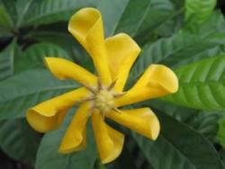 Gardenia Tubifera photo_ yellow Gardenia.jpg