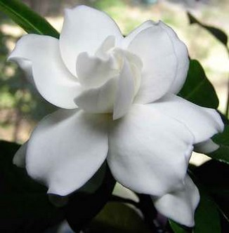 image of White Gardenia flowers.jpg