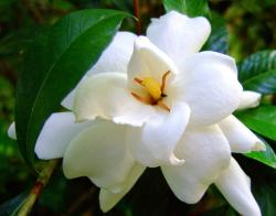 photos of White Gardenia flowers with yellow center.jpg